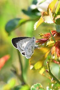 ヤクシマルリシジミ産卵 - 続・蝶と自然の物語