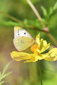 モンキチョウ - 続・蝶と自然の物語