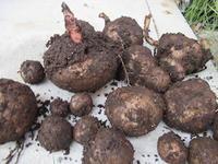 コンニャクイモ収穫 - じてんしゃでグルメ!3