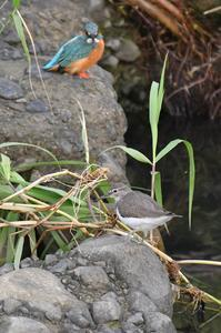 イソシギ - 阪南カワセミ【野鳥と自然の物語】