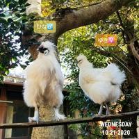 鶏雄叫び対策 - 烏骨鶏かわいいブログ