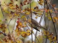 ナナカマドの木にマミチャジナイ - コーヒー党の野鳥と自然パート3