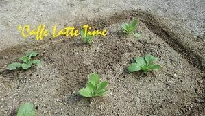 人生初めての野菜作り - Caffe Latte Time
