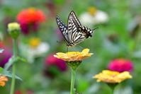 花畑は蝶たちのパラダイス - TOM'S Photo