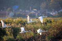 飛ぶ白鳥 - はっぴいでいず
