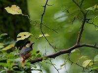 秋ヶ瀬公園・ピクニックの森 2020.10.19 - 鳥撮り遊び