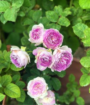 こんな秋バラが見たかったの♡① - 薪割りマコのバラの庭