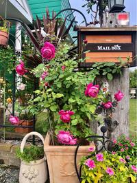 こんな秋バラが見たかったの♡② - 薪割りマコのバラの庭