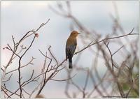 オオルリの幼鳥 - 野鳥の素顔 <野鳥と日々の出来事>