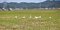コハクチョウ来る。(10/21) - じじ & ばば の Photo blog