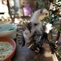 ヒヨコのオシリ浅葱矮鶏 - 烏骨鶏かわいいブログ