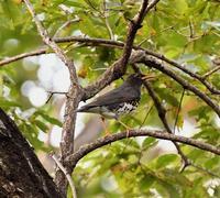 クロツグミ - 打出頑爺の鳥探し