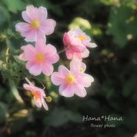 *秋明菊* - HANA*HANA