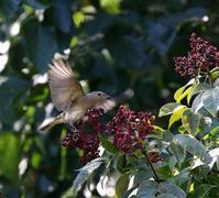 オオルリ♀も出てきた・・・ - 一期一会の野鳥たち