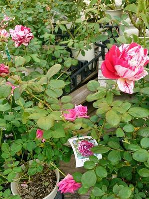 あいあいパークのバラと確実園買い付け情報 - バラやらナンやら
