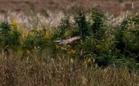 チュウヒに逢いに その2(大陸型) - 私の鳥撮り散歩