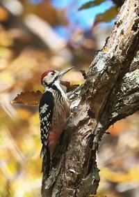 オオアカゲラ - くまさんの二人で鳥撮り