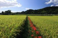 加茂の彼岸花・後編(木津川市) - 花景色-K.W.C. PhotoBlog