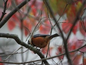 今日の鳥さん201019 - 万願寺通信
