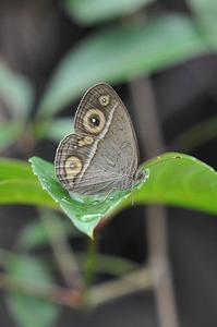 想い出の蝶・・ヒメジャノメ異常型 - 続・蝶と自然の物語