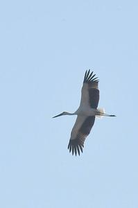 コウノとり上空を移動 - 阪南カワセミ【野鳥と自然の物語】