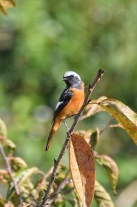 冬鳥ジョウビタキさん - 阪南カワセミ【野鳥と自然の物語】