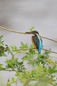 久しぶりメスの確認 - 阪南カワセミ【野鳥と自然の物語】