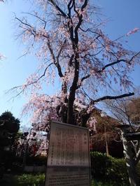 【秋色櫻異聞】死神の桜に宿る忍岡〜自殺の名所だった上野の山 - 揺りかごから酒場まで☆少額微動隊