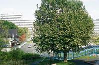 巨大プラタナスとO家の菊花 - 照片画廊