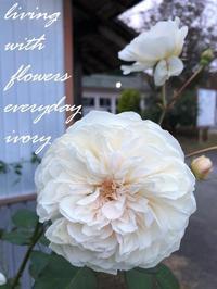ソンブレイユ -  Flower and cafe 花空間 ivory (アイボリー)