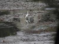 湧水池の鷺たち - エンジェルの画日記・音楽の散歩道