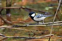 水辺のシジュウカラさん - 鳥と共に日々是好日②