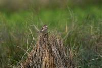 藁の上に乗る鳥さん② - 鳥と共に日々是好日②
