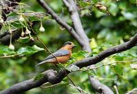 変種 ベンケイヤマガラ - azure 自然散策 ~自然・季節・野鳥~