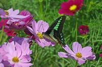 アオスジアゲハコスモス花盛り - 蝶のいる風景blog