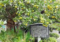 徳川家康お手植えの蜜柑 - 東金、折々の風景
