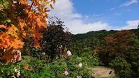 サトウカエデの紅葉 - 今から・花