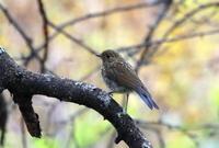 高原でルリビタキ・サメビタキに出逢う - 私の鳥撮り散歩