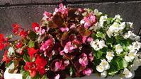 ベゴニアとルビーネックレスの花 - Ree's Blog