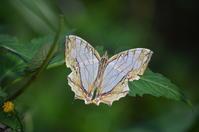 イシガキチョウ 10月24日 - 超蝶