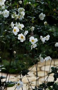 今朝の秋明菊 - 花と風の薫り