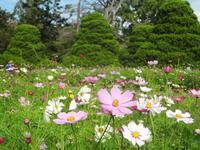 コスモス京都府立植物園~2020 - 健康で輝いて楽しくⅢ
