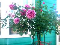 シスターエリザベスとアイスバーグのスタンダード♡とオンボロ服のおばさん(T . T) - 薪割りマコのバラの庭