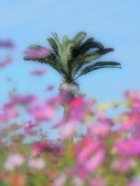 秋桜 3大阪府 - ty4834 四季の写真Ⅱ