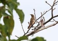 やっと・・・ジョウビタキ - 写真で綴る野鳥ごよみ