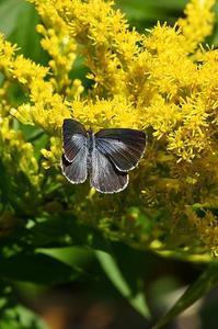 ヤクシマルリシジミ - 続・蝶と自然の物語