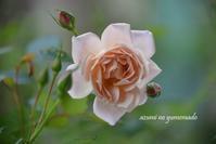 和バラ~いおりが咲きました♪ - azumiの夢まど