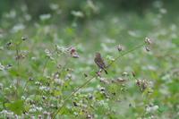 ソバノビ - 瑞穂の国の野鳥たち