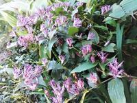 杜鵑 - だんご虫の花