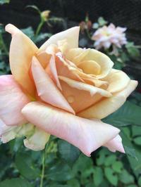 バラとバラード - バラやらナンやら